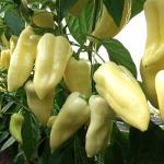 Fehér hegyes paprika