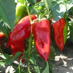 Piros hegyes (kápia) paprika